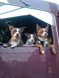 Mom &  daughter & dad.  Long haul trucking. Red Boston Terriers