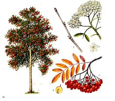 Illustration Blume, Tree Shapes, Rowan, Dandelion, Bamboo, Craft Projects, Activities, Nature, Flowers