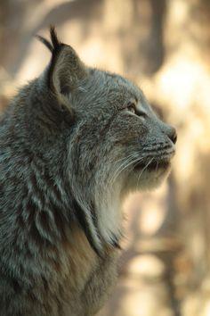 Lynx - Minnesota Zoo, Apple Valley, MN