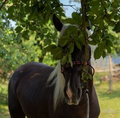 Rainstorm, 2.5 year old RMH Colt under an apple tree in France
