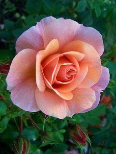 Such a beautiful rose!