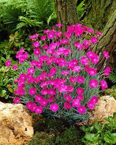 Runsas ja hurmaava kukinta. Pink Perennials, Garden Plants, Garden Landscaping, Outdoor Gardens, Beautiful Flowers, Home And Garden, Yard, Landscape, Planting