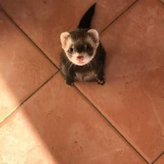 #ferret #ferrets Funny Animal Memes, Funny Animal Pictures, Cute Pictures, Funny Animals, Ferrets Care, Funny Ferrets, Cutest Animals On Earth, Hamster Life, Long Cat