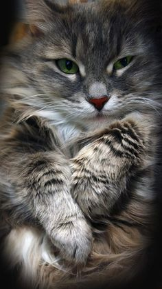 This kitty looks like my Maine Coon, Dylan. Cute Cats And Kittens, I Love Cats, Crazy Cats, Cool Cats, Kittens Cutest, Pretty Cats, Beautiful Cats, Animals Beautiful, Pretty Kitty