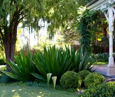 Furcraea foetida and Buxus 1 Tropical Landscaping, Landscaping Plants, Tropical Garden, Back Gardens, Outdoor Gardens, Australian Native Garden, Dry Garden, Coastal Gardens, Garden Inspiration
