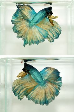 Rosetail (halfmoon) betta fish by fsdsfds