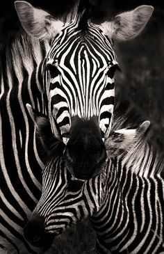 """Zebra Love"" A mare standing lovingly over her youngster"