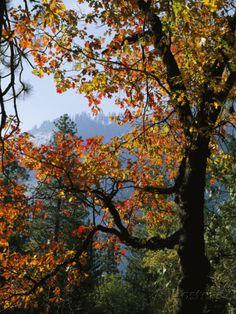 A Black Oak Tree (Quercus Kelloggii) in Yosemite Valley Lámina fotográfica