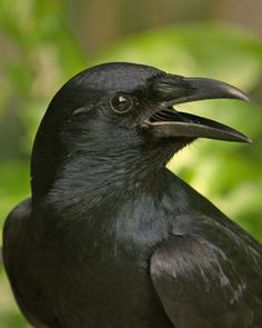 American Crow - The house crow has black body feathers glossed with metallic violet. Its wings are black with a green-violet gloss, and the eyes are brown. If threatened by a hawk or owl, flocks of crows will attack the larger predator.