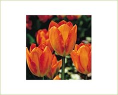 Orange Emperor - Tulips - Flowers and Fillers - Flowers by category | Sierra Flower Finder