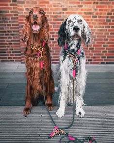 14 Gorgeous Facts About Irish Setters & PetPress 14 Gorgeous Facts About Irish Setters & PetPress Source by wagkristen The post 14 Gorgeous Facts About Irish Setters Horses And Dogs, Animals And Pets, Cute Animals, Big Dogs, Large Dogs, Irish Setter Dogs, English Setter Puppies, Big Dog Breeds, Cute Dogs Images