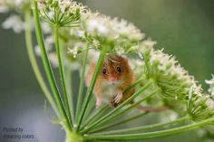 A mouse in dandelion