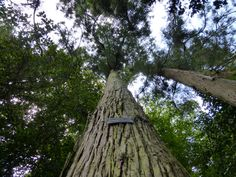 Giant Sequoia in Sintra