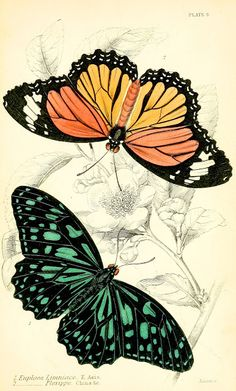 ARTEFACTS - antique images: Butterfly Illustration — for personal use only