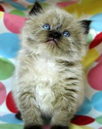 How much for himalayan cats