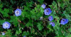 Geranium wallichianum 'Buxton's Variety': wunderful green marbled leaves and bright blue flowers............... – à De Stekkentuin.