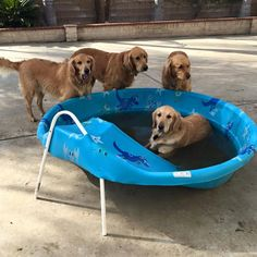 There's always a pool hog in the bunch. Photo by Cliff Jansen. Service Dogs, Girls Best Friend, Cliff, Labs, Blessed, Angel, Puppies, Sweet, Projects