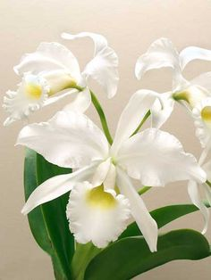 Cattleya gaskelliana var. alba - © 2006 Greg Allikas - This species also represents the alba forms of all of the labiate cattleyas which as a group, can produce flowers throughout most of the year. All produce large fragrant flowers. Intermediate.