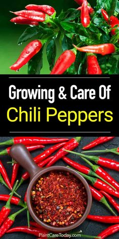 Vegetables Gardening How To Grow The Chile Peppers Plant - Apart from looking great in a landscape, chile peppers add flavors to mouth watering dishes. Learn the proper way of growing and caring for them. [READ MORE] Succulent Gardening, Organic Gardening, Vegetable Gardening, Herbs Garden, Indoor Gardening, Organic Vegetables, Growing Vegetables, Growing Herbs, Planting Vegetables