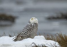 Well, no doubt this snowy owl knows exactly what that white fluffy stuff is.  Truth be told, the owl was keeping an eye on a bald eagle flying overhead.    Please note this image is copyright protected.  Thanks.
