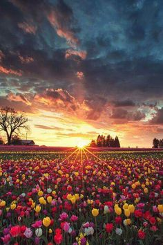 Nascer do sol no campo de flores Curta: Mistérios do Mundo