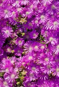 dosanthemum hispidum
