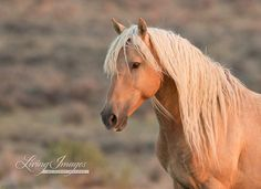The wild palomino stallion Corona at dawn in the Sand Wash Herd Area in Colorado.