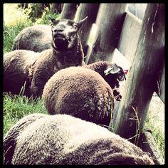 #instawalk #instagram #photo #zaanseschans #zaansmuseum #schapen #sheep