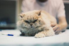 Glamourpuss #cats #animals #eastershow