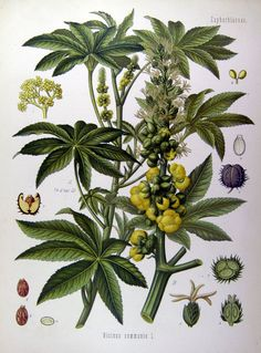Planta de ricino (mamona) - Pesquisa Google