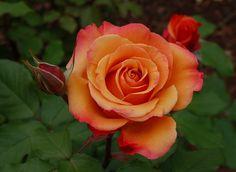 Tuscan Sun rose. Good cut flower.