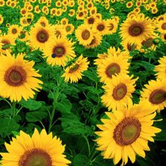 Sucker for sunflower fields, no doubt about it!