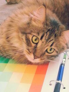 Mainecoon Cat ♡toonces♡