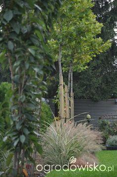 Lawendowy zawrót głowy - strona 888 - Forum ogrodnicze - Ogrodowisko