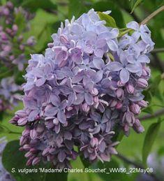 Madame Charles Souchet Lilac, Pretty blue-lavender, saw at Hulda Klager Gardens