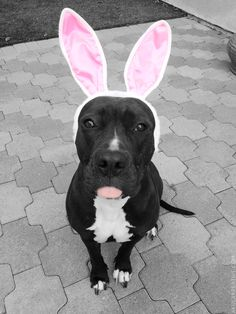It's not a vicious pit bull; it's a bunny!  Oddly enough my pittie has never hurt me or anyone else, but those bunnies I had growing up sure would scratch scratch my arm up when I tried to hold them. Lol