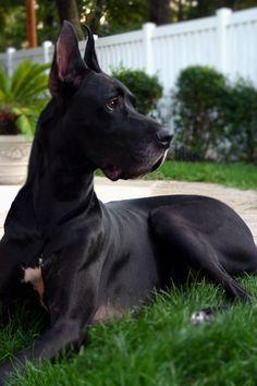 Great Dane, gorgeous gentle giant