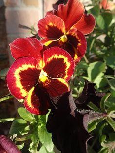pansies- Love this color variation