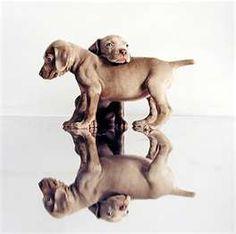 gorgeous weimaraner puppies