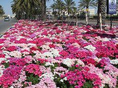 Maale Adumim, Israel - Public Landscaping, near entrance to the city, evening primroses (נר-הלילה) #MaaleAdumim, #Israel, #Gardening