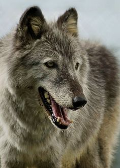 Hopa wolf at the Conservators' Center in North Carolina.