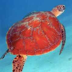 Turtles great barrier reef ocean animals..  Interesting beautiful things.