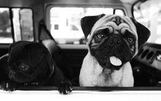 pugs pugs pugs
