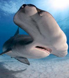 requin marteau pris dans les eaux des Bahamas .