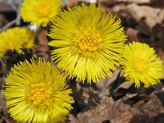 Coltsfoot - a Eurasian plant of the daisy family, with yellow flowers that… Robert Frost Poems, Korn, Yellow Flowers, Daisy, Prayers, Herbs, Spring, Plants, Homeschool
