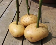 # Insanely Clever Gardening Tips and Ideas (flowers amp; vegetables) Taking rose cuttings an easy to guide, we also show you how to grow your roses in potatoes.Taking rose cuttings an easy to guide, we also show you how to grow your roses in potatoes.