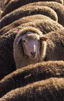 How to Tan Sheep Hides thumbnail