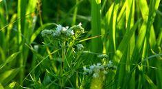 Weiler-Leopold Nature Preserve. Prairie Wildflowers.