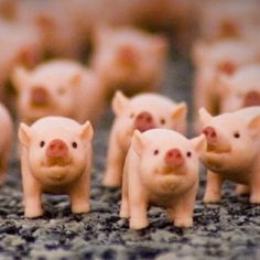 Image result for army of pigs