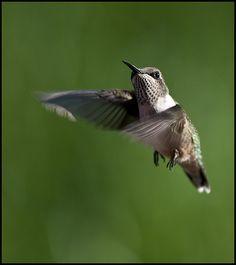 Juvenile male ruby-throated hummingbird in flight 7 | Flickr